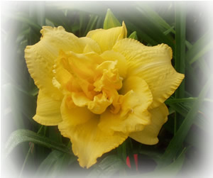 a picture of daylily seedling NO3-19