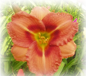 a picture of daylily seedling NO3-12